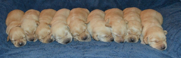 Sunshine's puppies at 10days