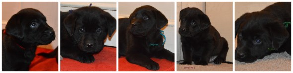Black pups '15 males