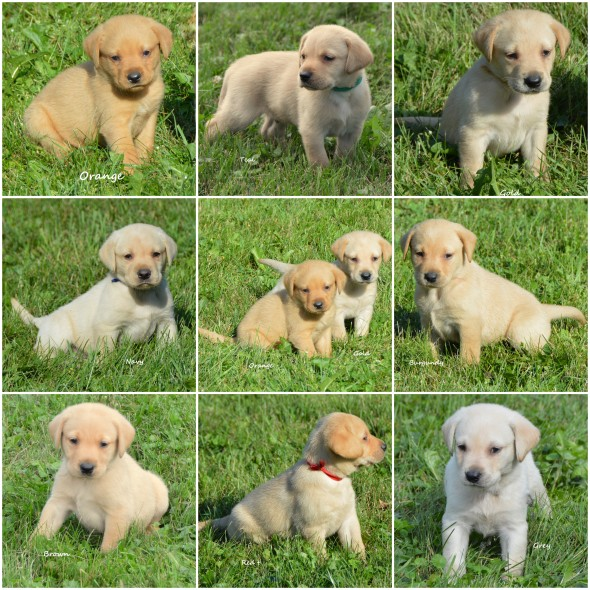Collage Simone's 8 male puppies for the web