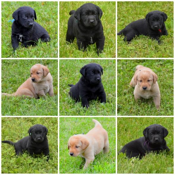 Beauty's pups @ 412 wks '19